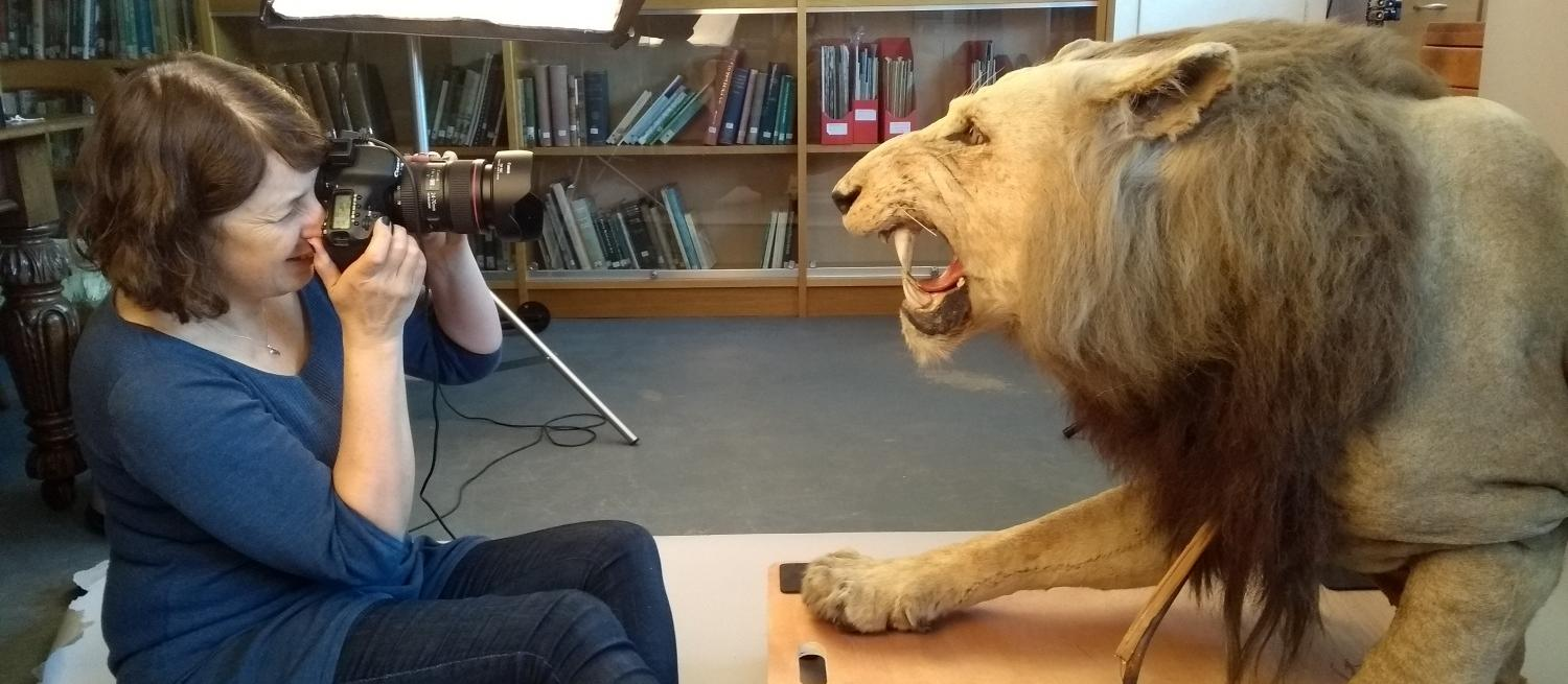 Photography the taxidermy lion